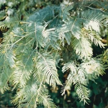 Acacia dealbata - Silver Wattle