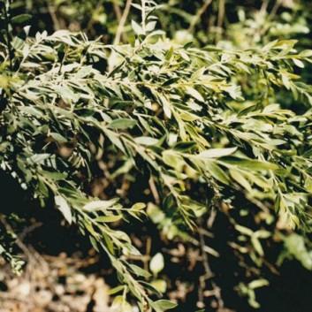 Acacia howittii - Sticky Wattle