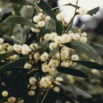 Acacia melanoxylon - Blackwood