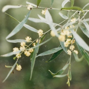 Acacia verniflicua - Varnish Wattle