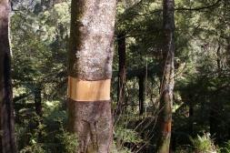 Acer pseudoplatanus - Sycamore Maple - ringbarked