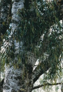 Amyema pendulum - Drooping Mistletoe
