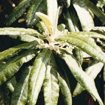 Bedfordia arborescens -Blanket-leaf
