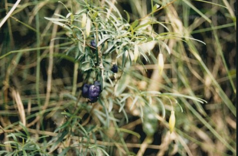 Billardiera longifolia - Purple Apple-berry