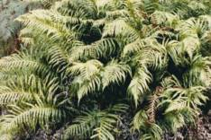 Blechnum cartilagineum -Gristle Fern