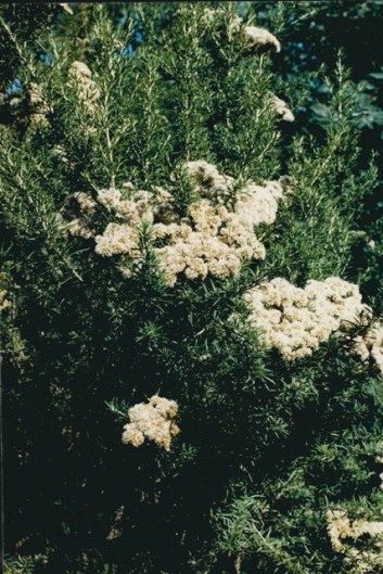 Cassinia aculeata -Common Cassinia