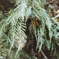 Ctenopteris heterophylla - Gipsy Fern