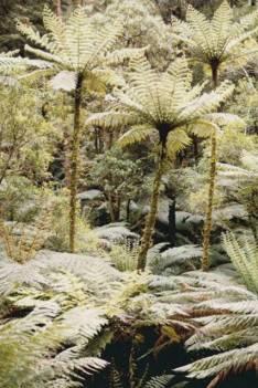 Cyathea cunninghamii - Slender Tree-fern