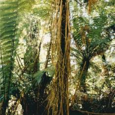 Cyathea marcescens - Skirted Tree-fern
