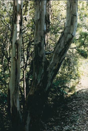 Eucalyptus cypellocarpa - Mountain Grey Gum