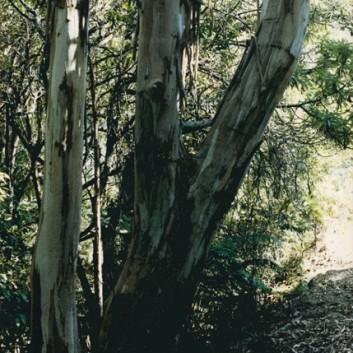 Eucalyptus cypellocarpa - Mountain Grey Gum