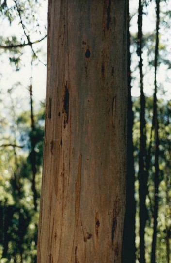 Eucalyptus globulus - Blue Gum