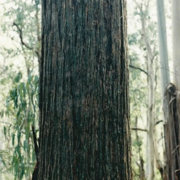 Eucalyptus mulleriana - Yellow Stringybark