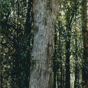 Eucalyptus obliqua - Messmate