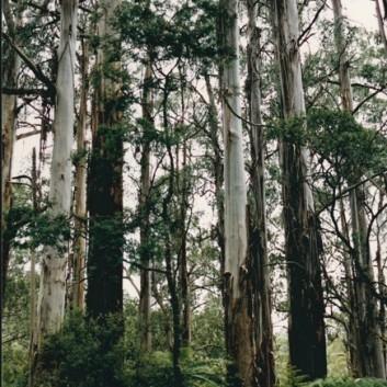 Eucalyptus regnans - Mountain Ash