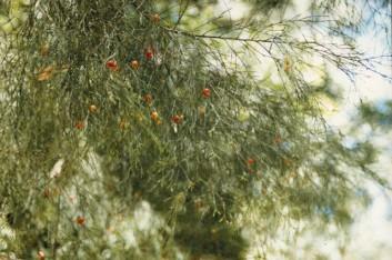 Exocarpos cupressiformis -Cherry Ballart