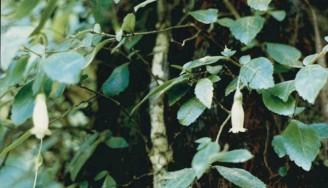 Fieldia australis - Fieldia