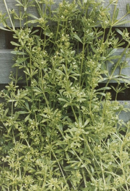 Gallum australe - Tangled Bedstraw