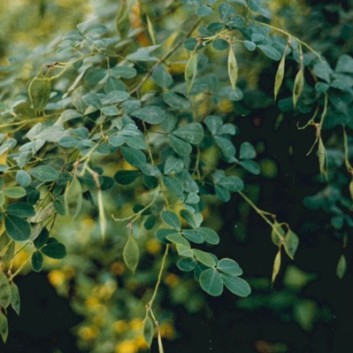 Goodia lotifolia - Golden Tip