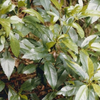 Hedycarya angusifolia - Austral Mulberry