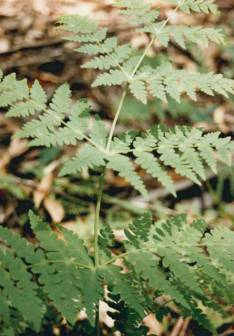 Histiopteris incisa - Bat's Wing Fern