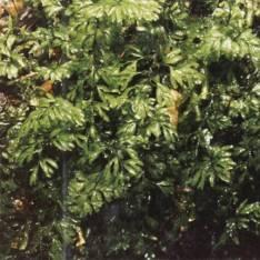 Hymenophyllum cupressiforme -Common Filmy-fern