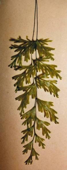 Hymenophyllum flabellatum - Shiny Filmy Fern