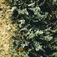 Hymenophyllum rarum - Narrow Filmy Fern