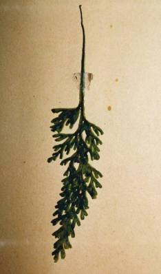 Hymenophyllum rarum - Narrow Filmy Fern