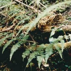 Hypolepis glandulifera -Downy Ground-fern
