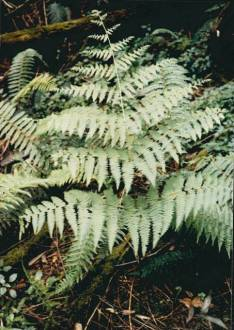 Hypolepis rugosula - Ruddy Ground-fern