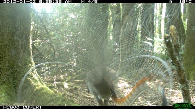 Lyrebird - Male with tail in full display