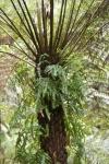 Tree Fern