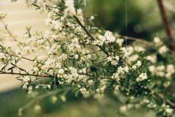 Kunzea ericoides - Burgan