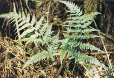 Lastreopsis acuminata - Shiny Shield-Fern