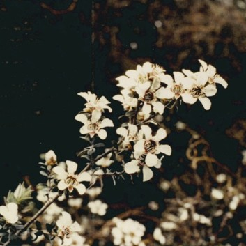 Leptospermum lanigerum - Woolly Tea-tree