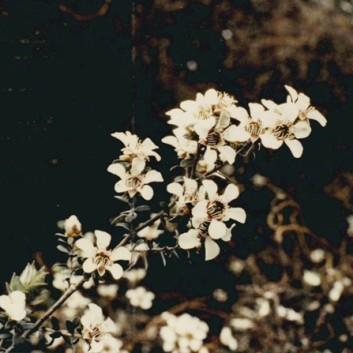 Leptospermum lanigerum - Woolly Tea-tree