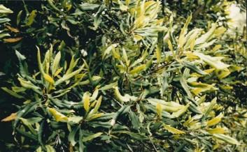 Lomatia fraseri - Tree Lomatia