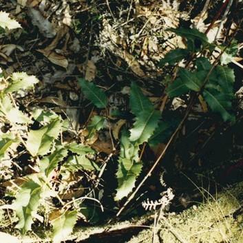 Lomatia ilicifolia - Holly Lomatia