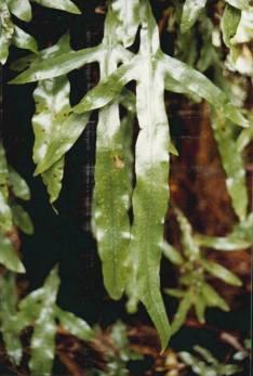 Microsorum pustulatum - Kangaroo Fern