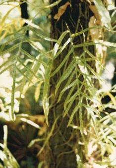 Microsorum scandens - Fragrant Fern