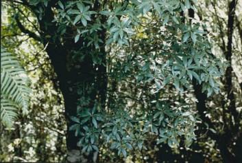 Notelaea ligustrina - Privet Mock-olive