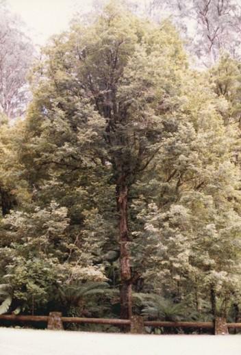 Nothofagus cunninghamii - Myrtle Beech