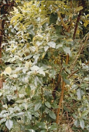 Oleara argophylla - Musk Daisy-bush