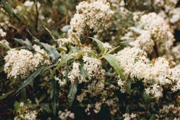 Oleara lirata - Snowy Daisy-bush
