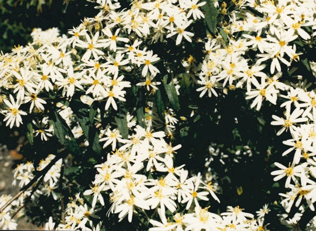 Oleria phlogopappa - Dusty Daisy-bush