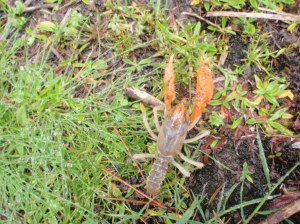 Burrowing Crayfish