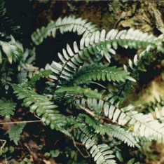 Pellaea falcata - Sickle Fern