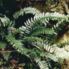 Pellaea falcata - Sickle Fern