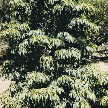Pittosporum undulatum - Sweet Pittosporum